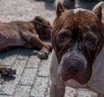 Del barrio Egipto a un refugio en Sibaté: así es el rescate de pitbulls abandonados